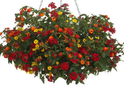 Lantana, Biddens and Berbenia Combo