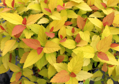 Double Play Spirea