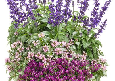Salvia, Lamium and Alysum